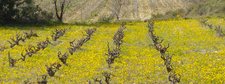 Château Lafforgue vignes des vins du Roussillon